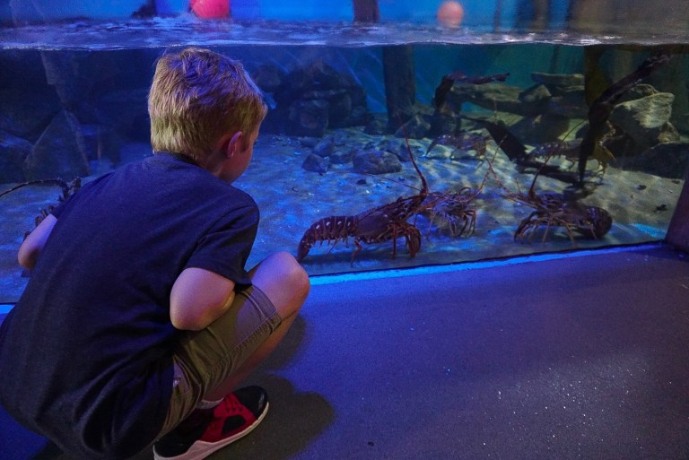 Lobsters at Anglesey Sea Zoo