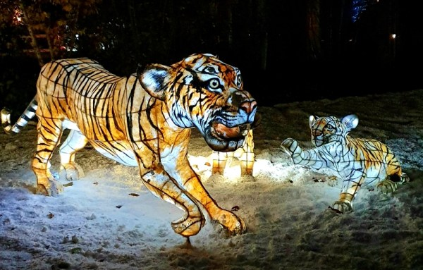 Tiger lanterns at Chester Zoo