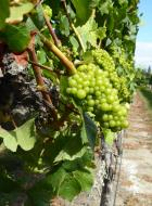 0260. Grapes at St. Clairs