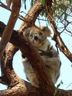 068. Koala bear on Raymond Island