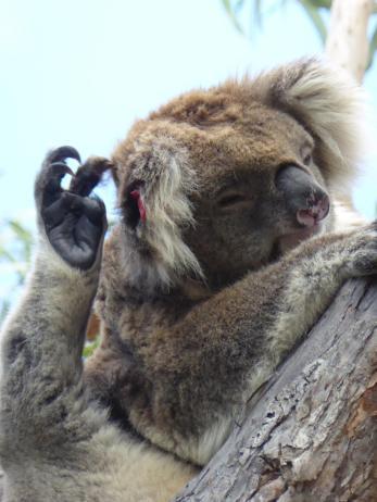 071. Koala bear on Raymond Island