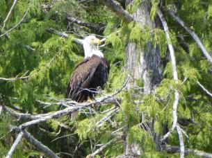 029. Bald eagle