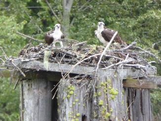 202. Osprey at Kootenay Bay