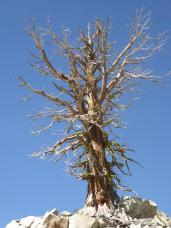 134. Tree on the way up Squaw Valley