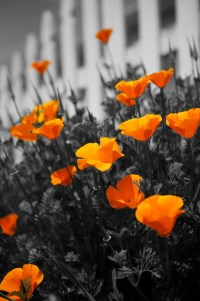 *Selective Color use in Black and White Photography ...