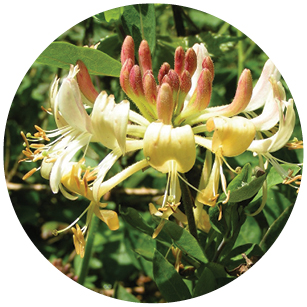 This image has an empty alt attribute; its file name is Japanese_Honeysuckle.jpg