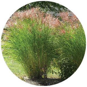 This image has an empty alt attribute; its file name is Miscanthus.jpg
