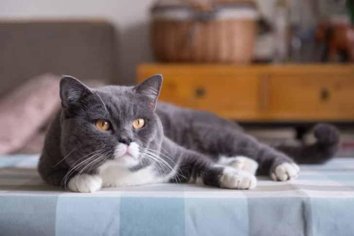 スコティッシュフォールドのハチワレ子猫ちゃん