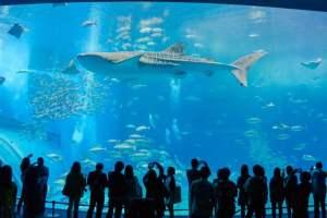 石垣島旅行 美ら海水族館のジンベイザメ