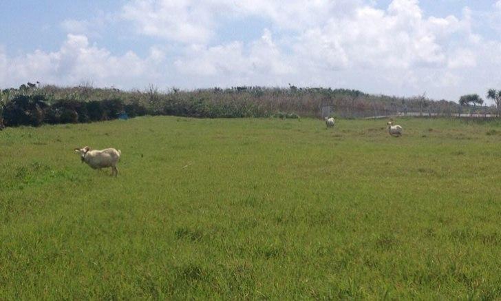 波照間島 ヤギの牧場