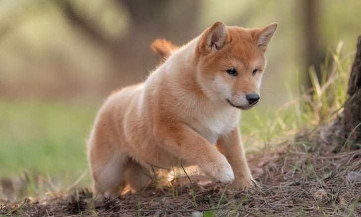 野山を走る柴犬の子犬