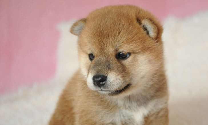 産まれたての柴犬の子犬