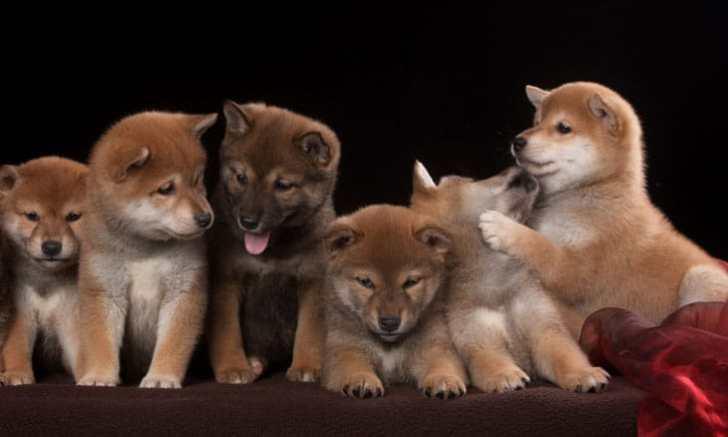 みんなで集合写真 柴犬の子犬