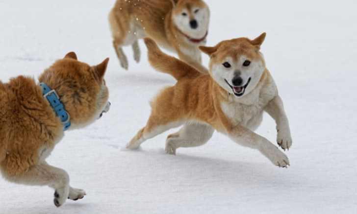 雪の中で遊ぶ柴犬の子犬