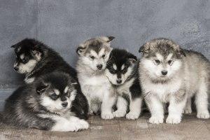 厳選!超かわいいシベリアンハスキーの子犬ちゃんの画像20選