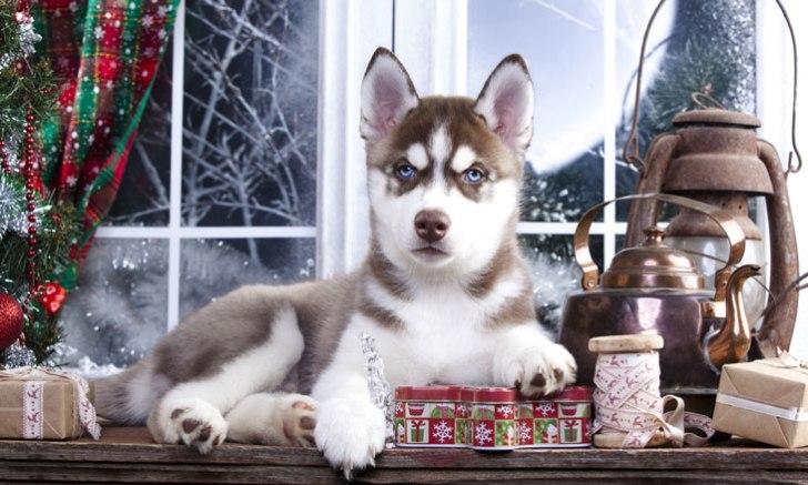 メリークリスマス シベリアンハスキーの子犬
