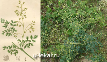 Лекарственная трава василиска. Василистник малый: полезный и ядовитый. Василистник — лечебные свойства