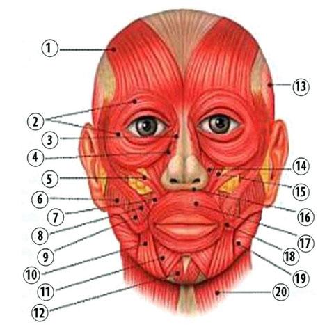 muscoli facciali frontali
