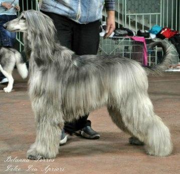 Питомник собак DOLCE DEA APRIORI