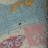 Bed Bug on Blanket