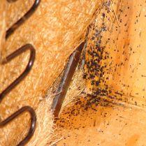 bed bug fecal spotting on underside of sofa
