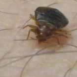 bed bug feeding