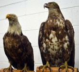 Eagle specimens