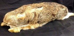 An eastern Cottontail Rabbit found dead by Carol during a day trip.