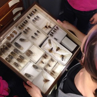 Sarah Washburn showing a drawer of cicadas to her family.