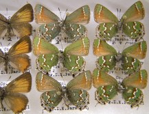 Butterflies in the Parshall collection