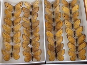 Oeneis chryxus from the Yukon Territory