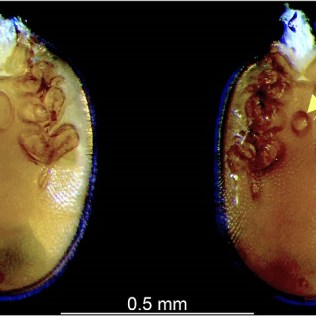 Macrodinychus multispinosus Sellnick male and female