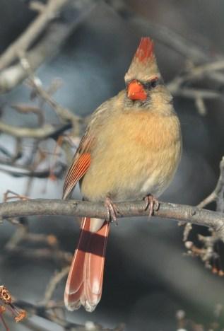 female Northern Cardinal, photo by Rich Bradley
