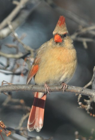 female Northern Cardinal, photo by Rich Bradley