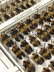 Beetle specimens, as Joe Knull arranged them, close up