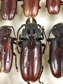 Longhorn beetles (Family Cerambycidae), detail