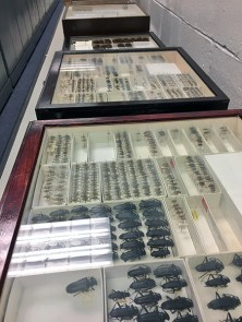 Some of the drawers containing longhorn beetles