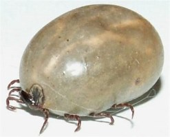 engorged female tick