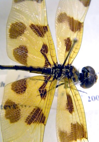 Halloween pennant. Specimen from the Triplehorn Insect Collection.