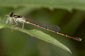 Damselfly in Columbus, Ohio.