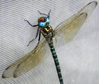 Dragonfly on window screen in Columbus, Ohio.
