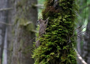 The Humboldt's flying squirrel found in the Pacific Northwest; Photograph by Nick Kerhoulas