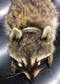 racoon specimen with head still stuck in glass jar