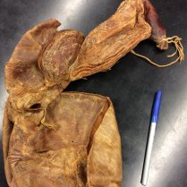preserved four-chambered stomach of a sheep, a member of the ruminant family Bovidae