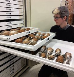 Grant Terrell with museum drawers of American Robin specimens