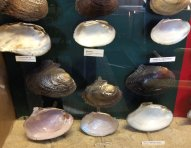 display case with mussel shells