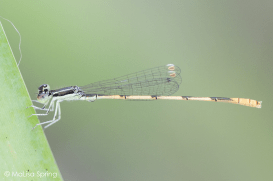 Citrine forktail (pond damselfly)