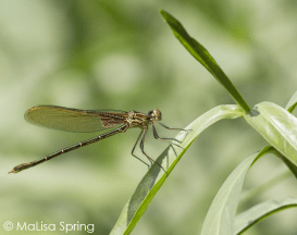 American rubyspot (broad-winged damselfly) on water-willow