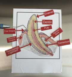 in this activity students would identify and label the various anatomical structures of a tooth which would help them with correctly putting the puzzle  [ 768 x 1024 Pixel ]