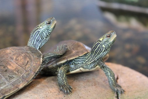 Two turtles sit atop a rock in the living stream at Battelle Darby Creek's Nature Center.